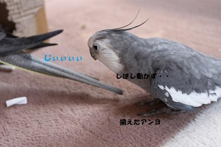 尾羽好き?