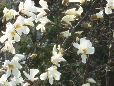DSCN9972 桜