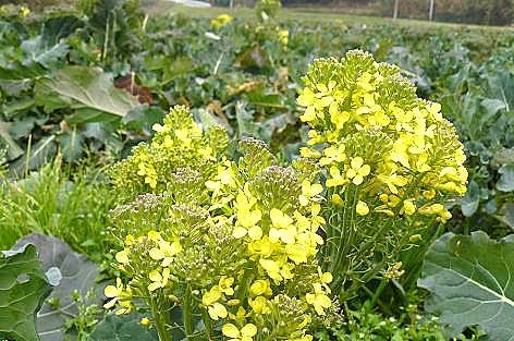 ブロッコリーの菜の花♪