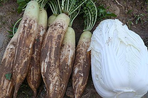 大根と白菜♪
