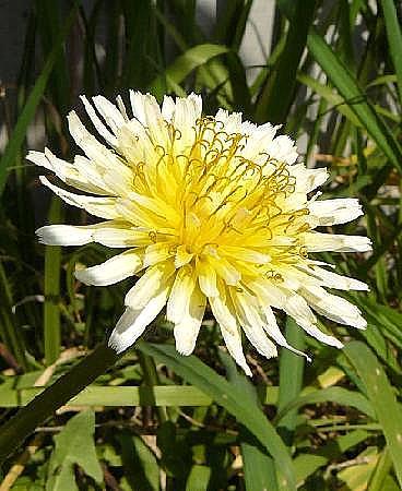 白花タンポポ♪