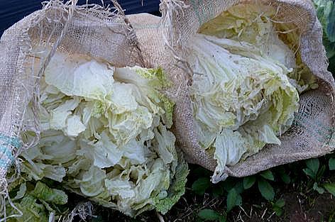 ボロボロ白菜♪