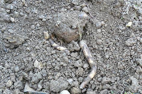 去年掘ったコンニャク芋・・・