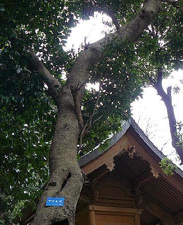 ヤマモモの木と天満宮♪