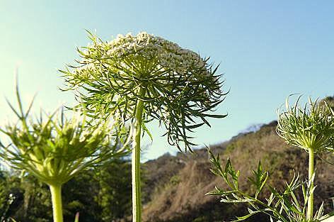 人参の花♪