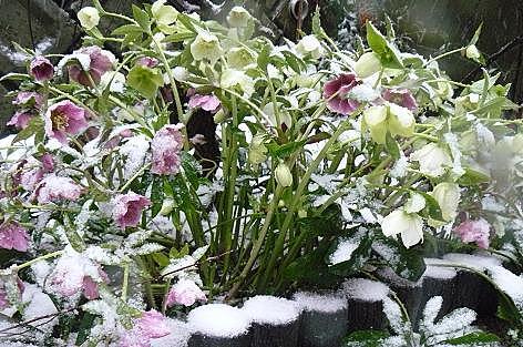 雪のクリスマスローズ♪