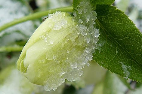 蕾に氷が・・・
