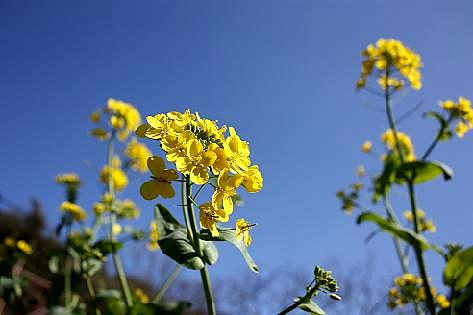 小松菜の菜の花♪