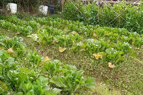 さつま芋畑の高菜♪