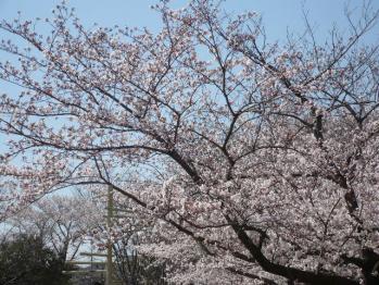 お花見2012-1