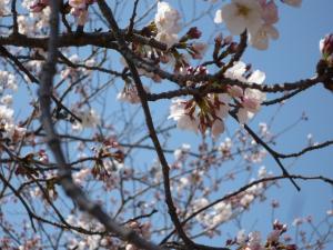 お花見2012-2
