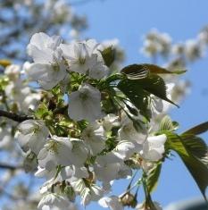 頭上の大島桜