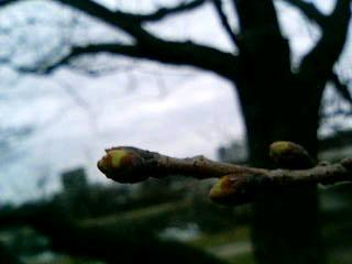 0308桜の蕾