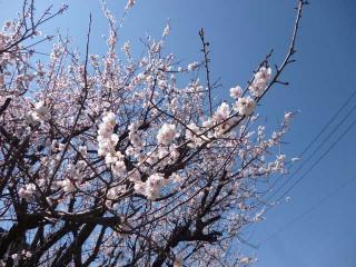 早咲きのさくら