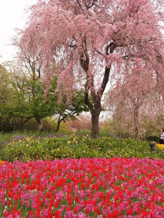 枝垂れ桜とチューリップ♪