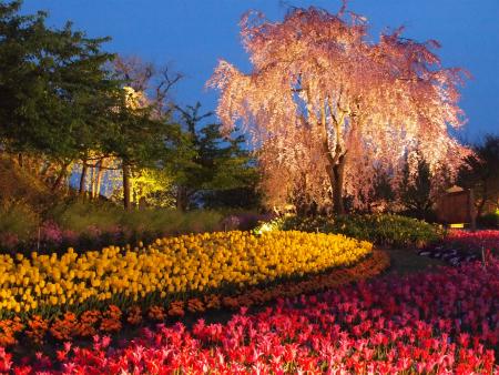 枝垂れ桜とチューリップのライトアップ