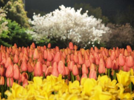 夜桜とチューリップ