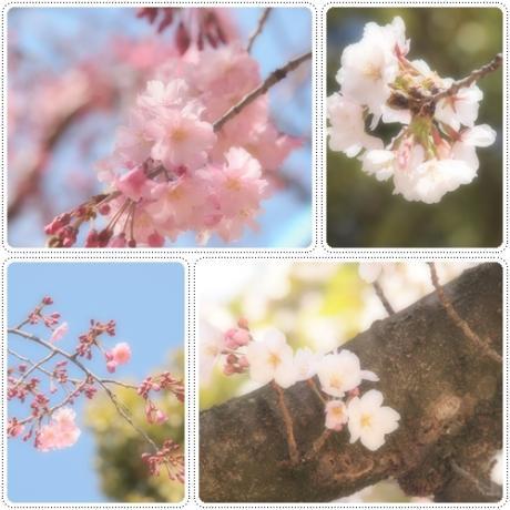 桜咲いてます~