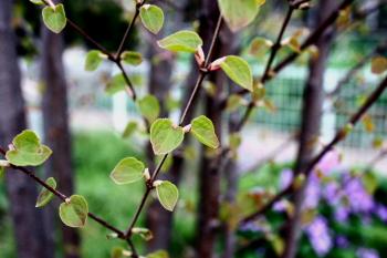 カツラの葉はハートの形