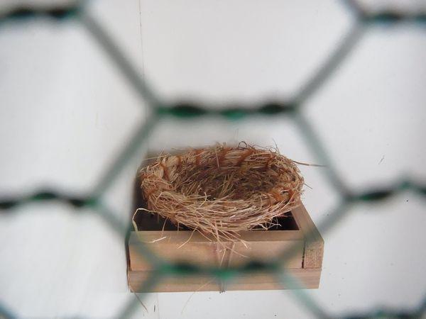 カナリアの巣
