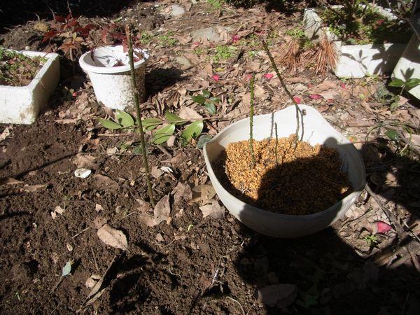 ビービーツリー・カラスザンショウの植え替え