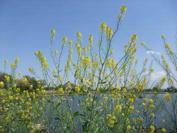 2010菜の花