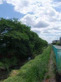 小学校の桜新緑