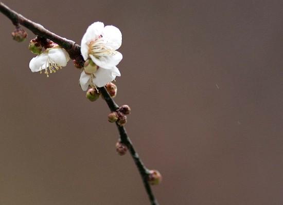 梅の花1488-s