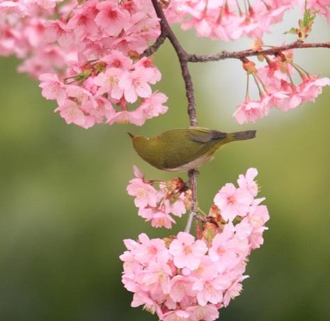 河津桜とメジロ0132b