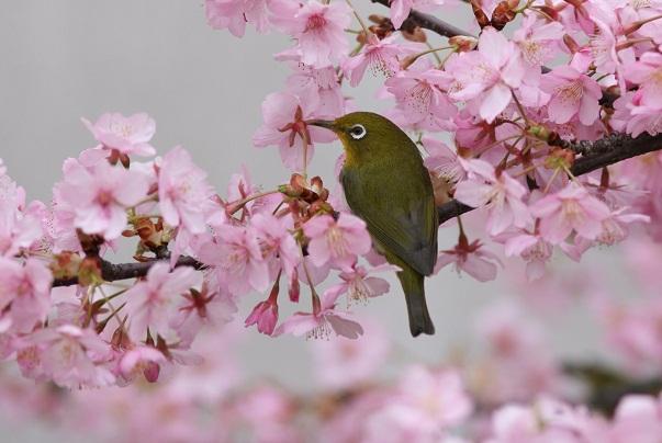 河津桜とメジロ0131b