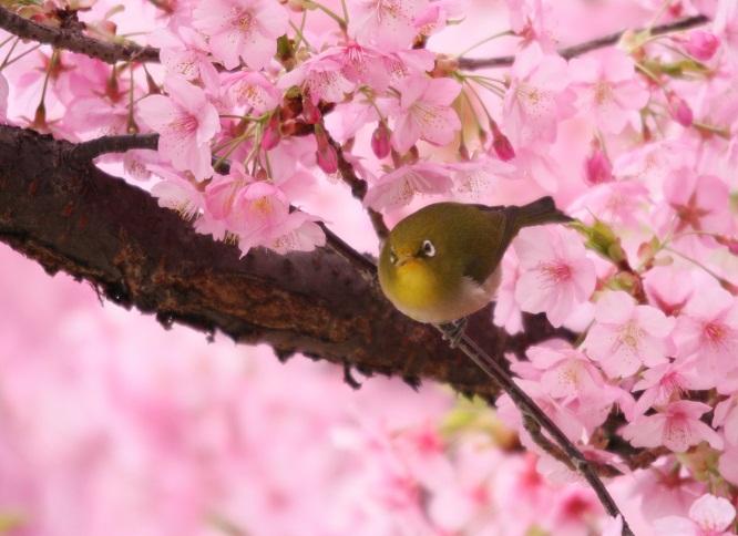 河津桜とメジロ0126b
