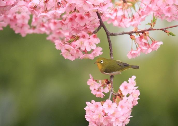 河津桜とメジロ0125b