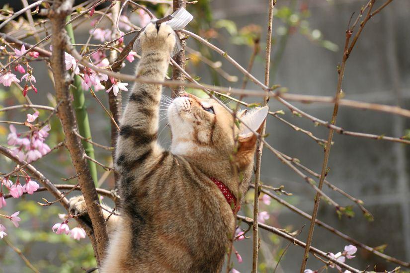 枝垂れ桜 庭0197_R