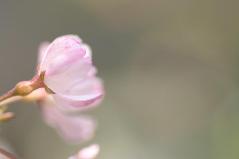 枝垂れ桜 庭0201b