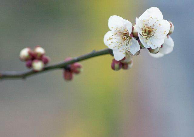 梅の花_R