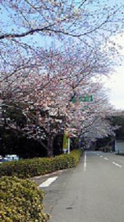 桜4_2011
