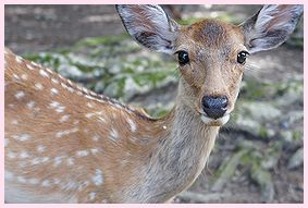 奈良の鹿さん2