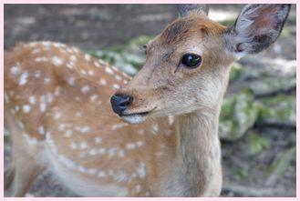 奈良の鹿さん3