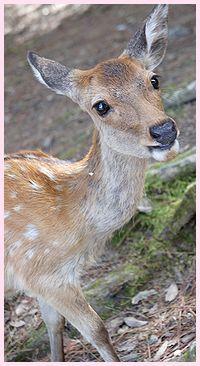 奈良の鹿さん1