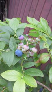 blueberry20000.jpg