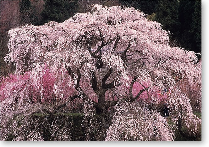 宇陀 又兵衛の桜