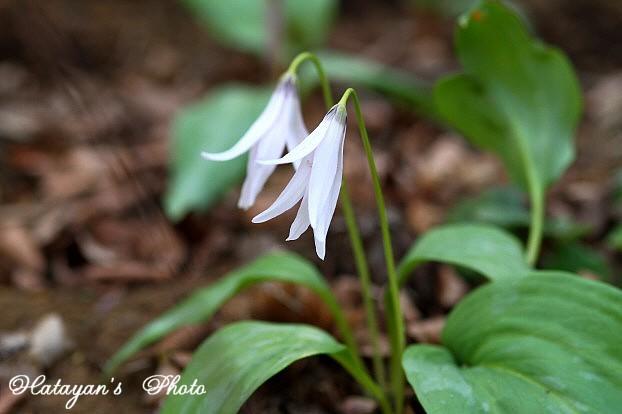 カタクリ白花6a