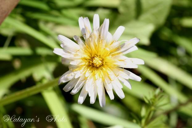 白花タンポポ1a