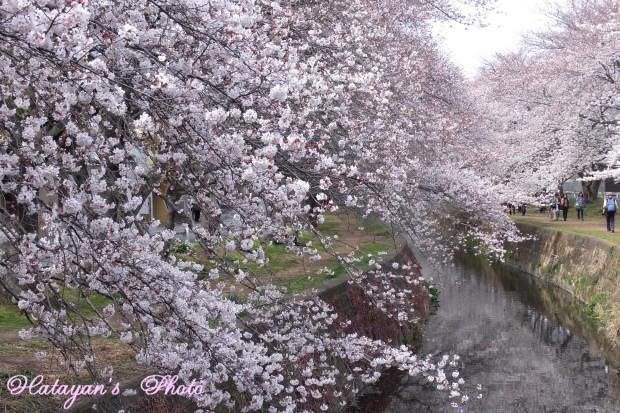 千本桜11a