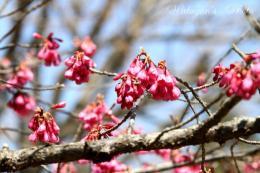 琉球寒緋桜1a