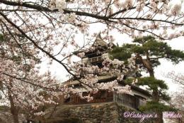 丸岡城とサクラa