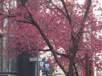 早咲き桜1010938_convert_20110322172138