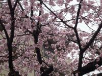 早咲き桜appu ・P1010942_convert_20110322172327