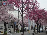 早咲き桜遠景P1010941_convert_20110322172455