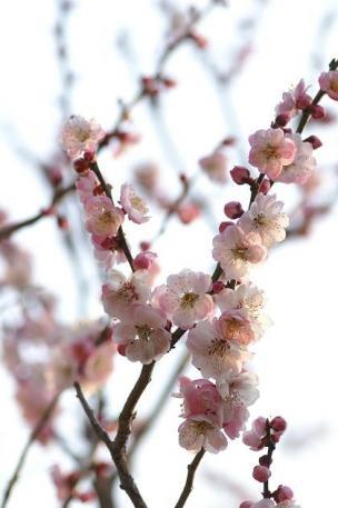 うめの花・・・まだ咲いてます♪